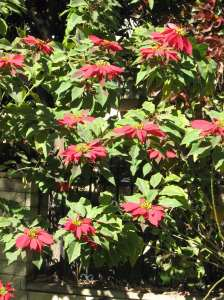The Poinsettia: Not quite as high as an elephant's eye